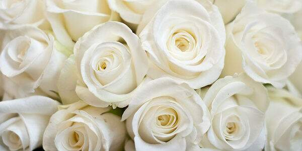 Significado da rosa branca