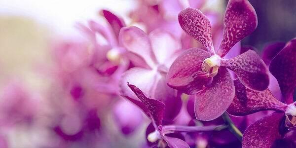 Significado da Orquídea