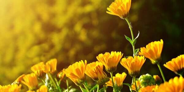 Flores e seus significados - aprenda a importância do sentido das plantas