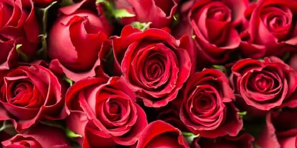 sonhar com rosas vermelhas