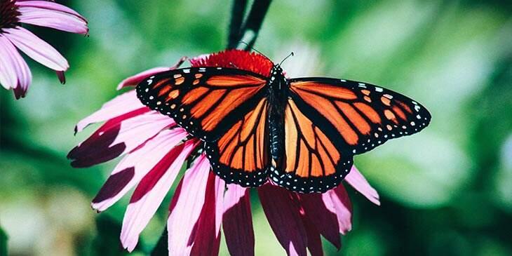borboleta monarca significado espiritual