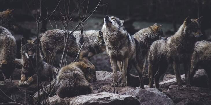 lobo-significado-espiritual-1