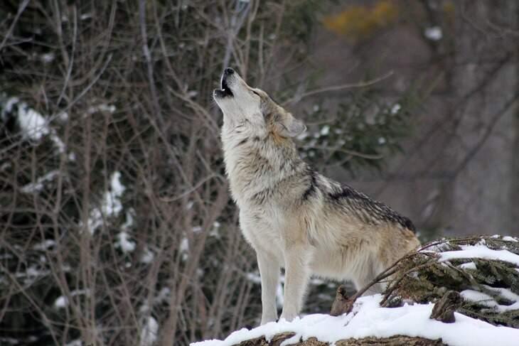 lobo-significado-espiritual-2