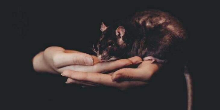 significado espiritual do rato